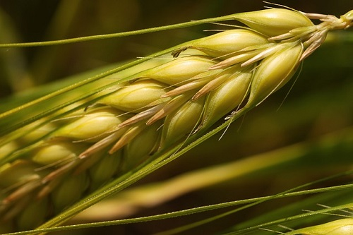 wheat and its effect on aging