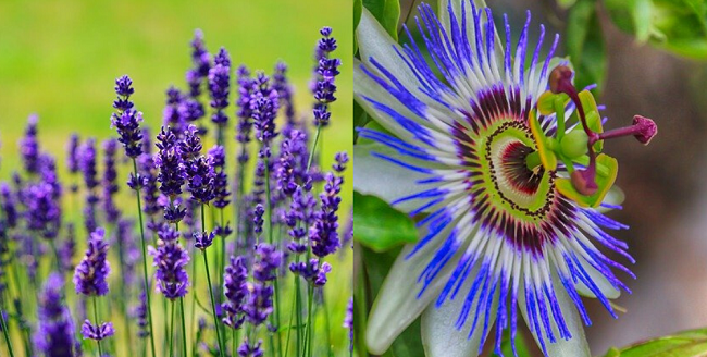 Lavender and passionflower.